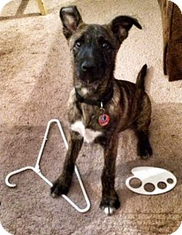 Boxer/Fox Terrier (Smooth) Mix Puppy for adoption in CHAMPAIGN, Illinois - MALLORY