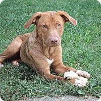 Adopt A Pet :: Honey - Midway, KY