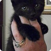Adopt A Pet :: Licorice - Reston, VA