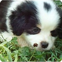 Adopt A Pet :: Robbie - Plainfield, CT