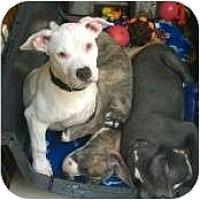 Adopt A Pet :: Bell - DFW, TX