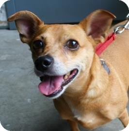 Chihuahua Mix Dog for adoption in Brooklyn, New York - Gretchen