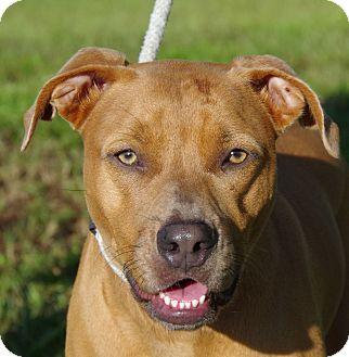 Labrador Retriever/Black Mouth Cur Mix Dog for adoption in Daytona Beach, Florida - Hola