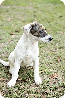 Catahoula Leopard Dog Mix Puppy for adoption in Glenburn, Maine - Jenny jump