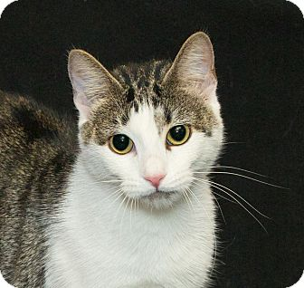 Domestic Shorthair Cat for adoption in Elmwood Park, New Jersey - Jade