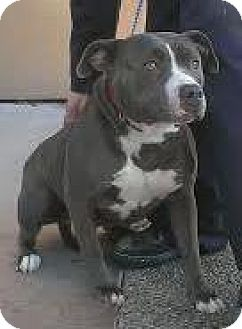 American Pit Bull Terrier Dog for adoption in Westminster, California - Rhythm