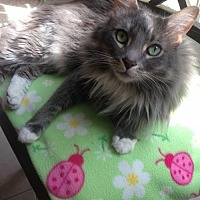Domestic Mediumhair Cat for adoption in Mission Viejo, California - Kobe