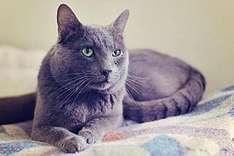 Domestic Shorthair Cat for adoption in Markham, Ontario - Dusty