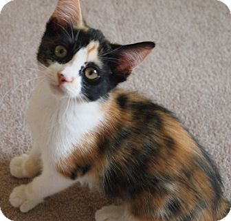 Calico Kitten for adoption in Buhl, Idaho - Bonnie