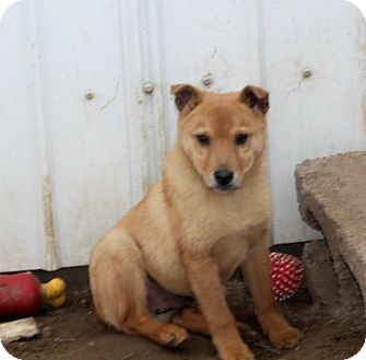 Chihuahua/Pomeranian Mix Puppy for adoption in Liberty Center, Ohio - Tequila