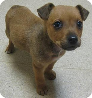Shepherd (Unknown Type) Mix Puppy for adoption in Gary, Indiana - Max