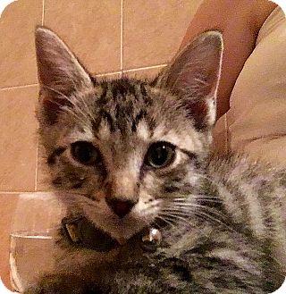 Domestic Shorthair Kitten for adoption in Tampa, Florida - Dublin