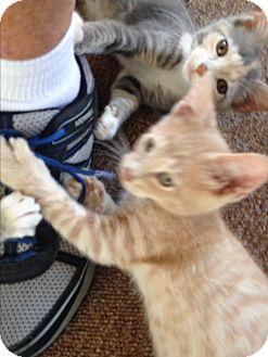 Domestic Shorthair Kitten for adoption in Toledo, Ohio - Larry