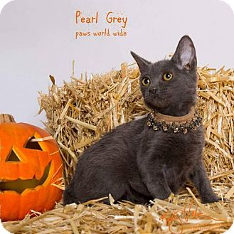 Russian Blue Kitten for adoption in Corona, California - PEARL GREY
