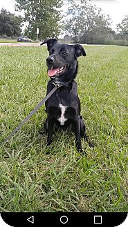 Labrador Retriever/Border Collie Mix Puppy for adoption in Ann Arbor, Michigan - A - JASMINE