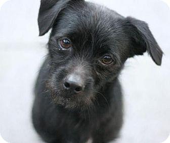 Schnauzer (Miniature) Mix Dog for adoption in Canoga Park, California - Blaze