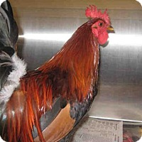 Chicken for adoption in Norco, California - A036409