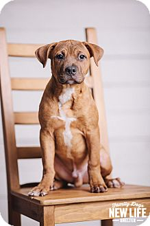 Pit Bull Terrier/Boxer Mix Puppy for adoption in Portland, Oregon - Bowser