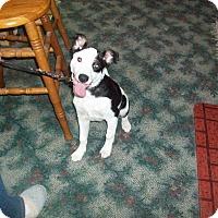 Adopt A Pet :: Dottie Darlin - Chewelah, WA