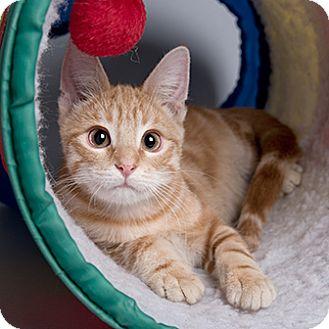 Domestic Shorthair Kitten for adoption in Wilmington, Delaware - Mario