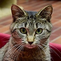 Adopt A Pet :: Hillary - Des Moines, IA