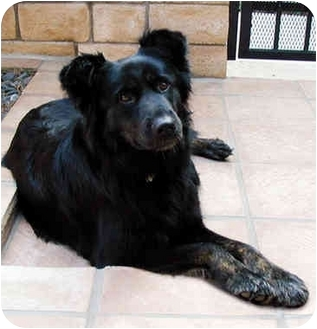 Flat-Coated Retriever/Border Collie Mix Dog for adoption in Marina del Rey, California - Minuet
