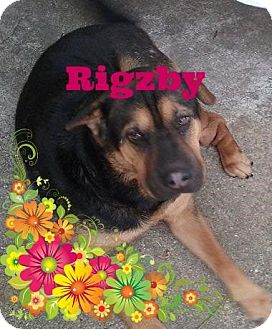 Shar Pei/Shepherd (Unknown Type) Mix Dog for adoption in Friendswood, Texas - Rigzby