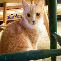 Exotic Cat for adoption in York, Pennsylvania - Kinky (Egyptian)