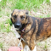 Collie/Catahoula Leopard Dog Mix Dog for adoption in Ashburn, Virginia - Sika