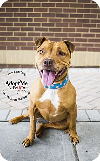 Pit Bull Terrier Mix Dog for adoption in Charlotte, North Carolina - June Delaney