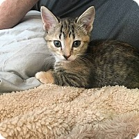 Domestic Shorthair Kitten for adoption in Tampa, Florida - Aubree
