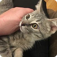 Adopt A Pet :: Stripes - Chelsea - Kalamazoo, MI