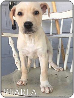 Labrador Retriever Mix Puppy for adoption in DeForest, Wisconsin - Pearla