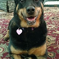 Adopt A Pet :: Bella - Looking for Her Loving Family - Seattle, WA