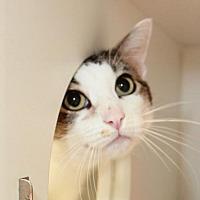 Adopt A Pet :: Mr. Kitty - Oxnard, CA