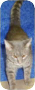 Domestic Shorthair Cat for adoption in Murphysboro, Illinois - Pockets