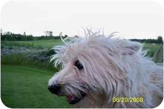 Westie, West Highland White Terrier Dog for adoption in Kokomo, Indiana - Wishes