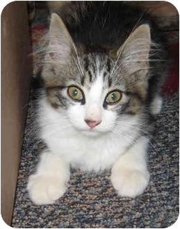 Domestic Longhair Kitten for adoption in Solon, Ohio - Hunter