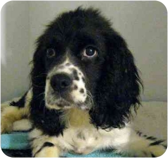 Spaniel (Unknown Type) Mix Puppy for adoption in Ile-Perrot, Quebec - WADE