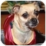 Photo 2 - Chihuahua/Pug Mix Dog for adoption in Coral Springs, Florida - LuLu
