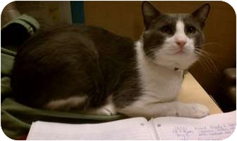 Domestic Shorthair Cat for adoption in Worcester, Massachusetts - Walter