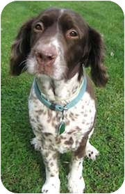 English Springer Spaniel Dog for adoption in Minneapolis, Minnesota - Maisie Mae (WI)