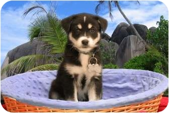 Husky Mix Puppy for adoption in Livonia, Michigan - Gunnar - Adoption Pending