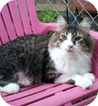 Domestic Mediumhair Cat for adoption in Anchorage, Alaska - Paige