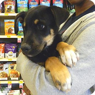 Rottweiler Mix Puppy for adoption in McCormick, South Carolina - Cisco
