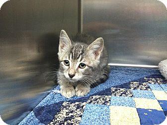 Domestic Shorthair Kitten for adoption in Bradenton, Florida - Wyatt
