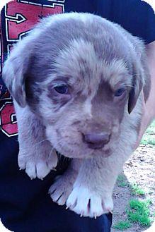 Australian Shepherd/Labrador Retriever Mix Puppy for adoption in Somers, Connecticut - Lou