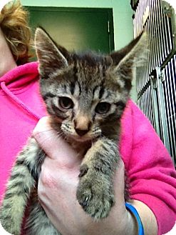 Domestic Shorthair Kitten for adoption in South Haven, Michigan - Kelso