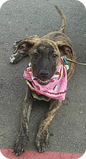 Mountain Cur/Labrador Retriever Mix Puppy for adoption in Somers, Connecticut - Sissy