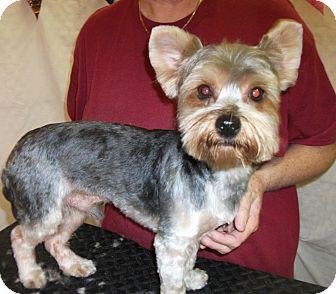 Yorkie, Yorkshire Terrier Dog for adoption in Ormond Beach, Florida - Rex